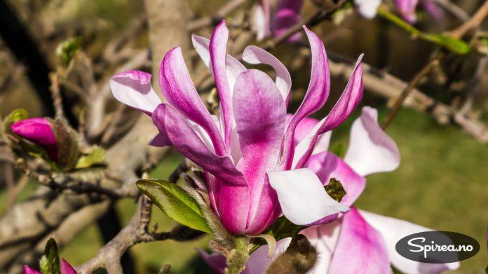 Ingen tvil om at magnolia har utrolig vakre blomster.