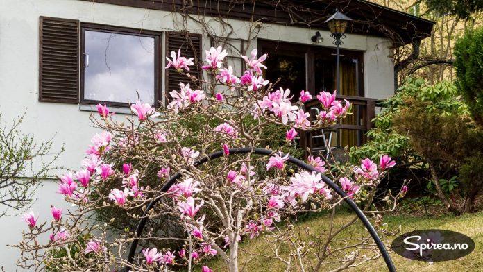 Magnoliaen kommer i blomst før de meste annet begynner å våkne til liv i hagen.