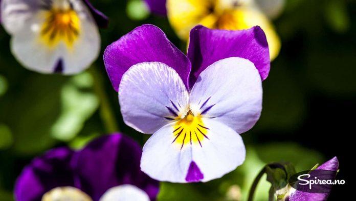 Den yndige blomsterformen gjør at stemor er manges favoritt.