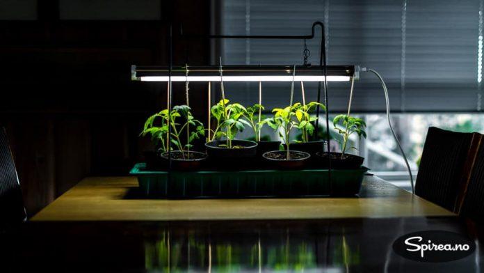 Har du vekstlys kan plantene stå der til de vokser ut av det.stå under de