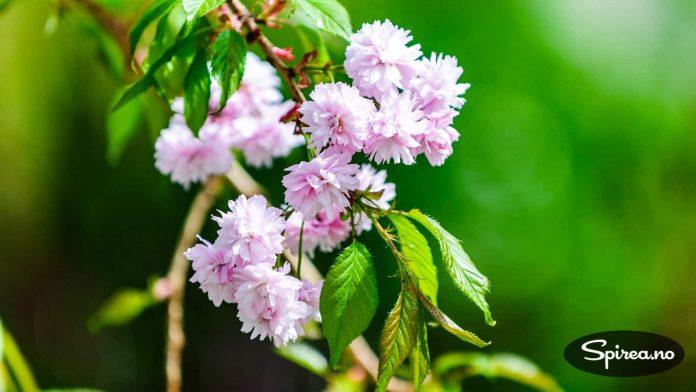 Japansk prydkirsebær gir vakker blomstring om våren.