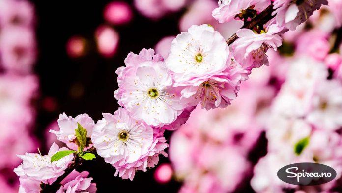 Rosemandel (Prunus triloba) har flotte blomster, men er bare til pryd.