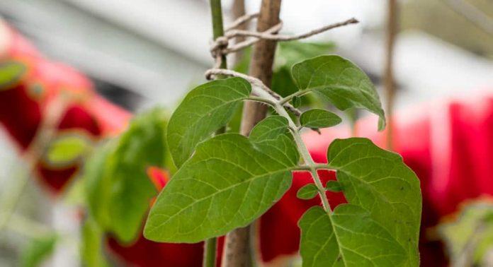 Det er viktig å binde opp tomatplantene slik at de tåler litt vær og vind.