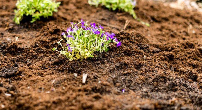 Bruker du god jord, vil plantene raskt vokse seg store.