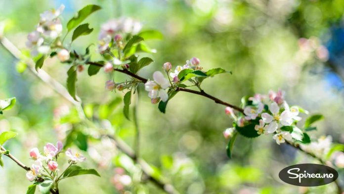 En av naboene våre her på Høyenhall har flere, store epletrær, og han er flink til å beskjære og stelle dem slik at de både blomstrer vakkert og gir mye frukt.