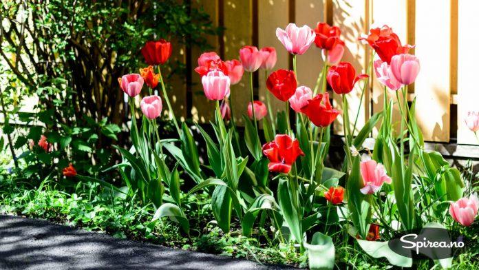 Naboens tulipanbed ligger i solveggen, så de er litt tidligere ute enn våre. Vakre de også!