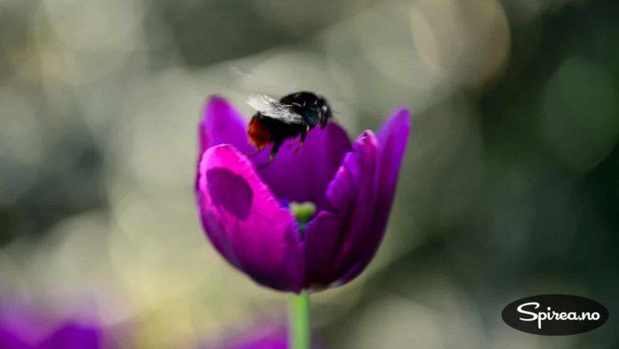 Humlene har for lengst oppdaget tulipanene våre. Det er bare å forsyne seg!