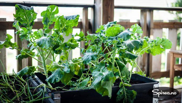 Brokkoli kan også plasseres i en pallekarm.