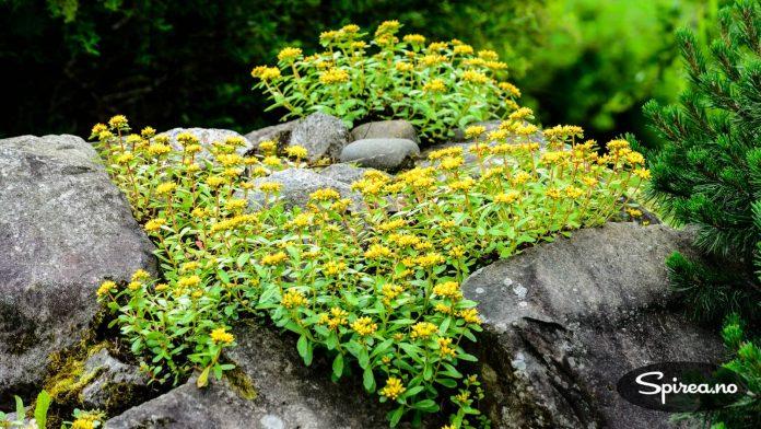Sedum: Bergknapp er planter som klarer seg med lite vann og jord, og kan for eksempel plantes på en steinmur.