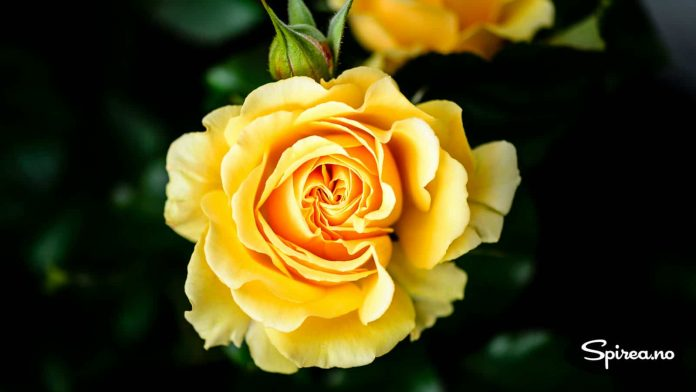 Amber Queen: Lekker rose som vokser i sørveggen i Elverum.