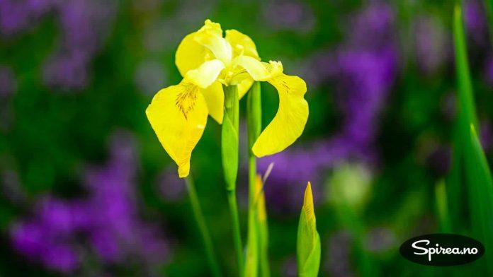 Gul iris: Nesten litt svensk preg på dette bildet, med gule iris i front.