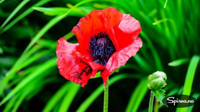 Orientalsk valmue: Kalles ofte staudevalmue, og har vakre, silkepapiraktige blomster.