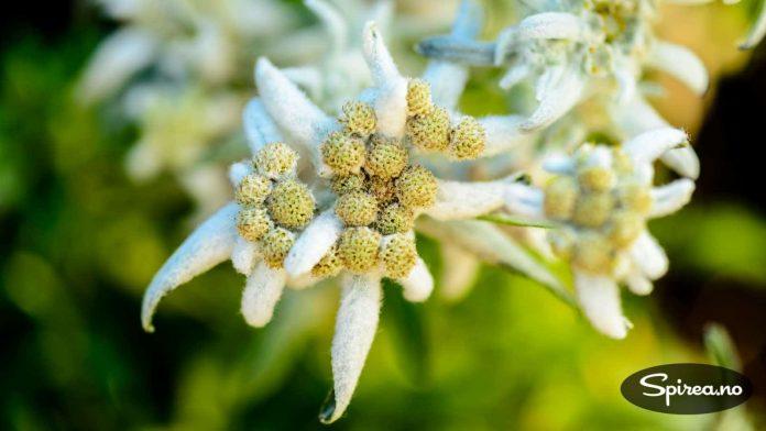 Blomsten på Edelweiss er spesiell og lett å kjenne igjen.