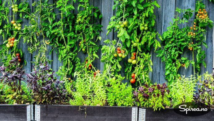 Anne på Moseplassen planter tomatplantene i doble pallekarmer, og gir dem støtte mot veggen.