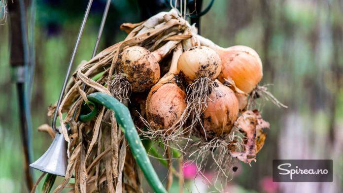 Løk er noe av det Bjarne dyrker mest av i kjøkkenhagen, og som han også bruker mest i matlaging.