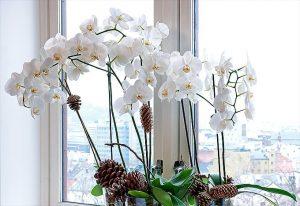 phalaenopsis_680