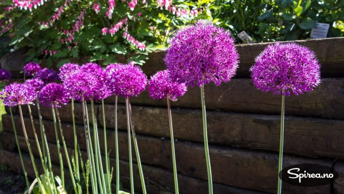 Allium blir cirka 80 cm høye, og kan plantes på et sted der andre stauder dekker til bladverket.