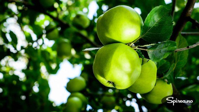 """Bramley's Seedling er favoritteplene til """"syltevenninnene""""."""