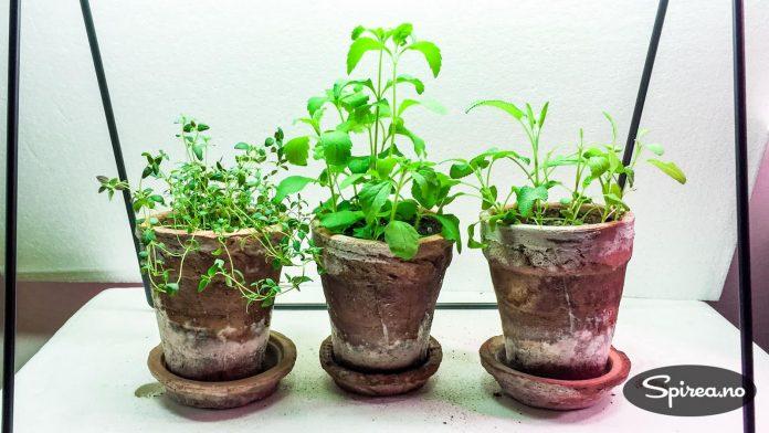 Tore sådde noen frø for et par uker siden. Her har det kommet (fra venstre): timian, stevia og salvie.