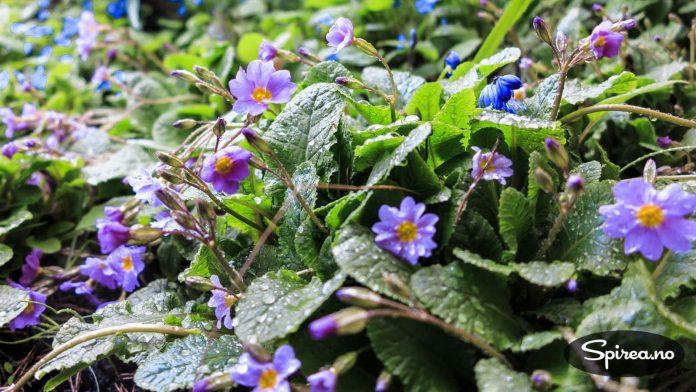 """Primula blomstrer tidlig om våren, dette er en variant med sortsnavnet """"Margit""""."""