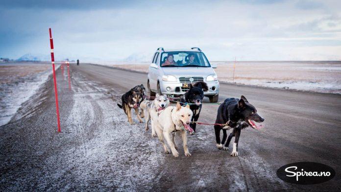 Når det ikke er føre for hundekjøring med slede, må eieren bruke bilen for at hundene skal få trent.