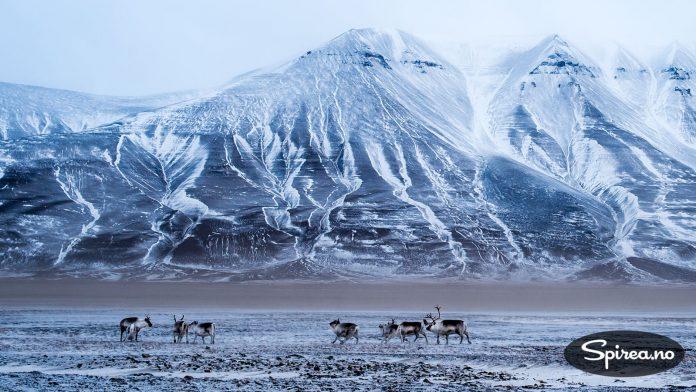 Svalbardrein er mindre enn sine slektninger på fastlandet. Du kan se flokker som dette rett utenfor Longyearbyen. Isbjørn er derimot et sjeldent syn, selv om alle turistbrosjyrene inneholder minst ett bilde av en.
