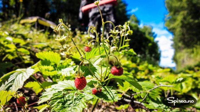 Noen ganger kan du hente deg forfriskninger i veikanten. Markjordbær er smaken av Norge!