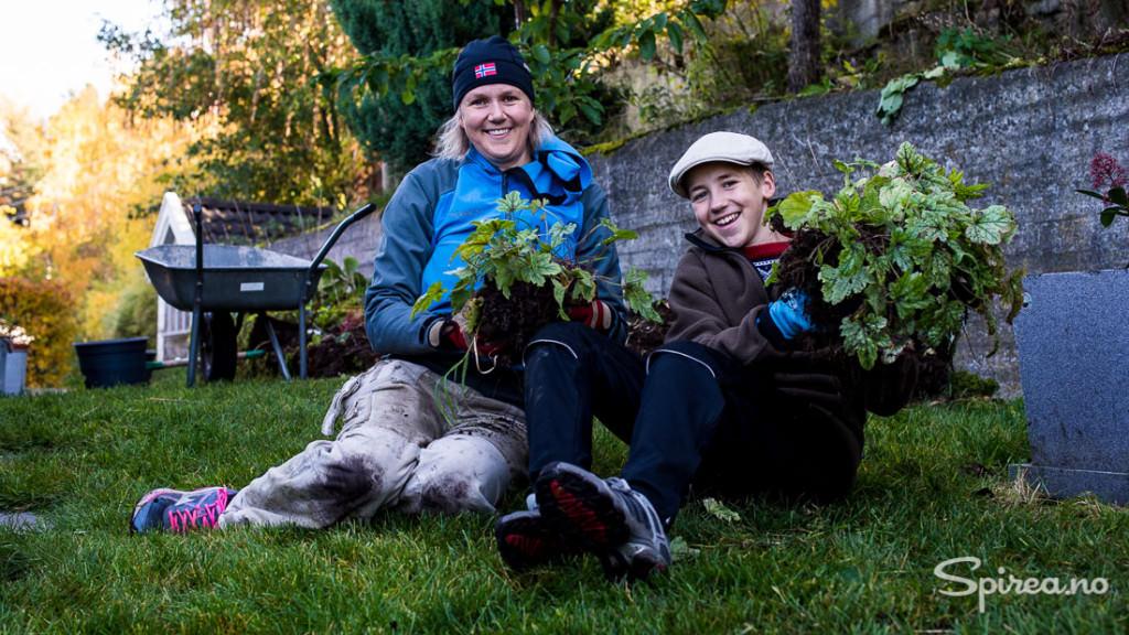 Ved å dele stauder får du flere planter helt gratis!
