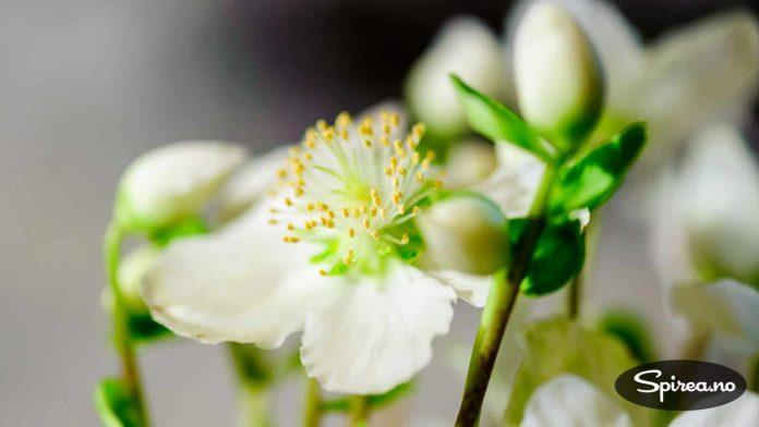 De hvite blomstene er blitt svært trendy de siste årene.