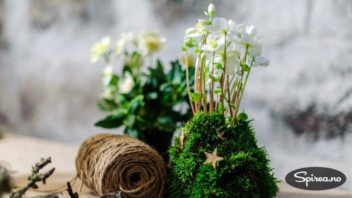 """Grønn mose kan surres rundt rotklumpen som """"potte"""". OBS: Hvis du setter den på bordet, bruk litt gladpack under."""