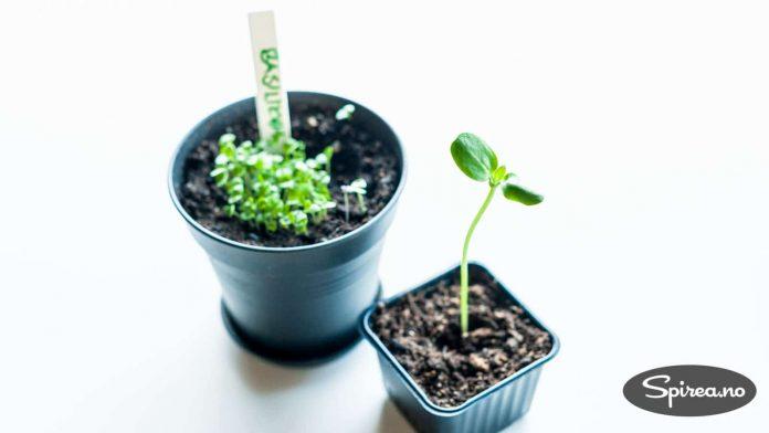 Når plantene vokser ut av den lille potten du sådde i, kan de plantes om.