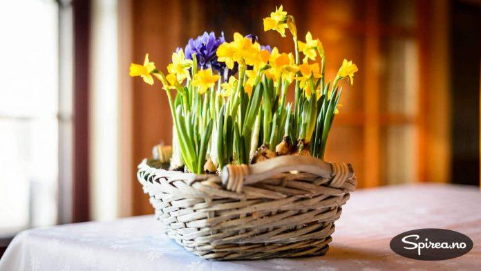 Påskeliljer og iris ser lekkert ut plantet sammen.