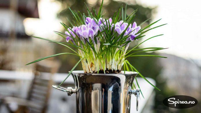 Setter du løkblomstene ute på terrassen, vil blomstringen vare lenger.
