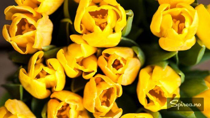 Gult er kult! Det nærmer seg påske, og hva setter stemningen bedre enn en bukett gule tulipaner!