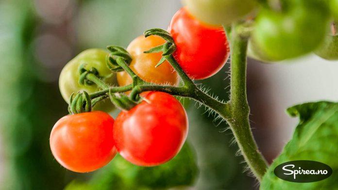 Tomater som modner på busken smaker aller best.