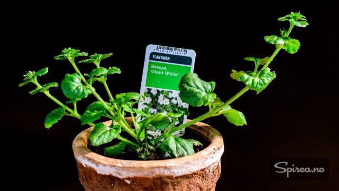 Bacopa passer godt i samplantninger. Etter at dette bildet ble tatt har planten allerede begynt å blomstre!