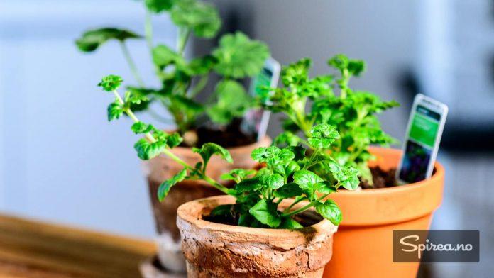 Plant småplantene over i noen litt større potter slik at røttene får utvikle seg.