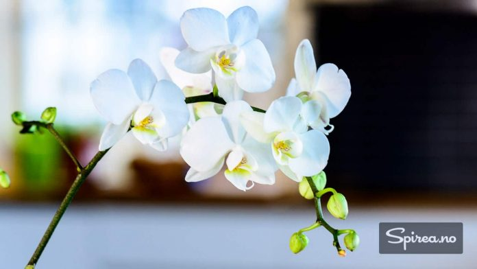 Phalaenopsis er Norges mest kjøpte orkidé. Rosa eller hvite blomster er mest vanlig.