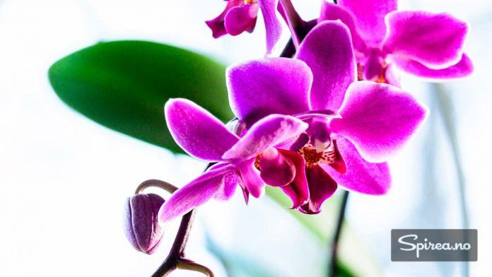 """På engelsk kalles Phalaenopsis """"møll-lignende orkide"""", på grunn av formen på blomstene."""