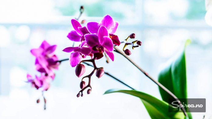 Orkideer trenger lys for å trives. Et øst- eller vestvendt vindu er topp.