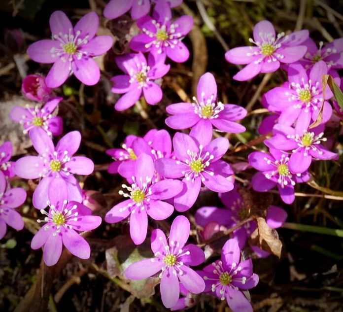 Rosa blåveis i en hage i Elverum. Foto: Siri Emilsen