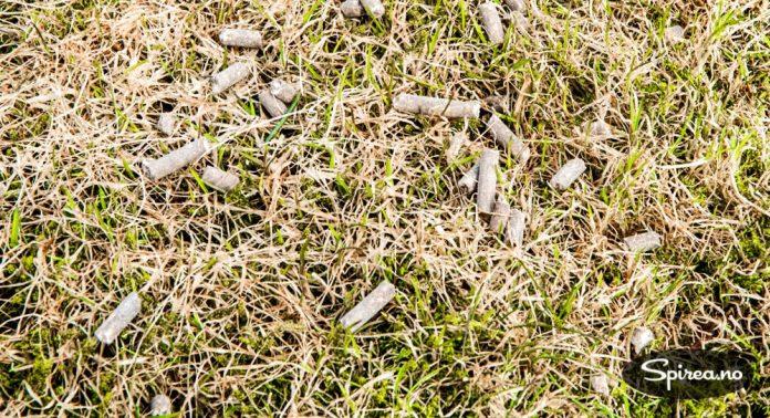 Plenen kan gjødsles med pelletert naturgjødsel. Vann gjerne mens det regner, eller sett på sprederen etterpå.