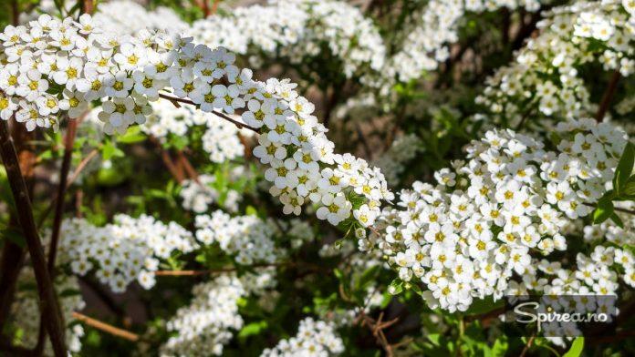 Brudespirea blomstrer vanligvis i mai-juni, og bør få en runde med saksa etter blomstring for at veksten skal holde seg pen.