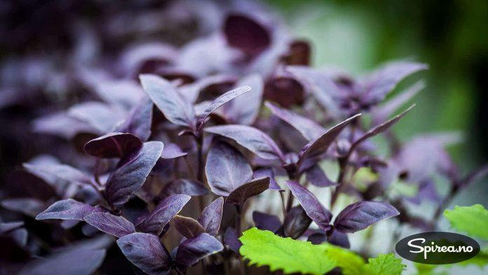 Rødbladet basilikum er både dekorativ og smakfull.