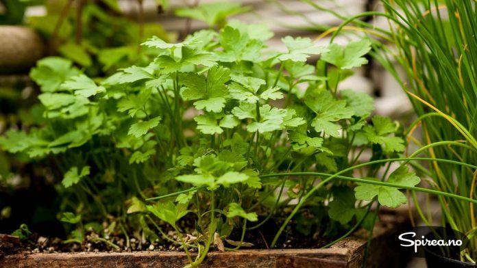 Koriander er en urte det er lett å lykkes med.