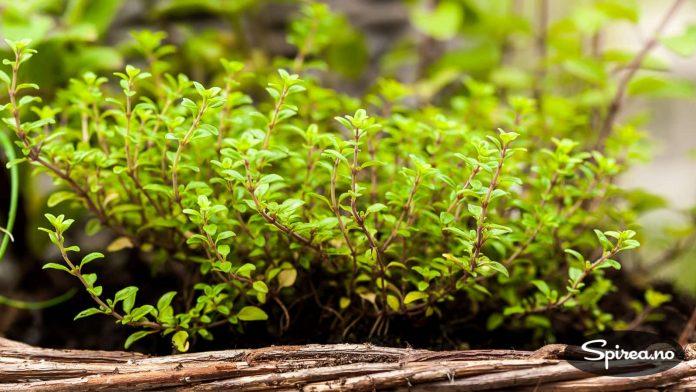 Plant flere typer urter i en kurv, og plasser den for eksempel ved grillen.