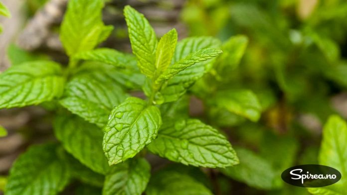 Salvie er en lege- og krydderplante som også har en fin blomstring.