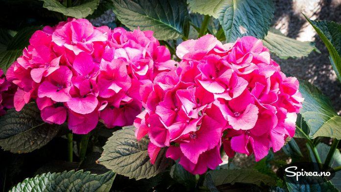 Vil du ha det fargerikt, finnes det hagehortensia også i knall rosa.