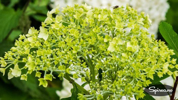 Syrinhortensia er litt mer hardfør enn vanlig hortensia.