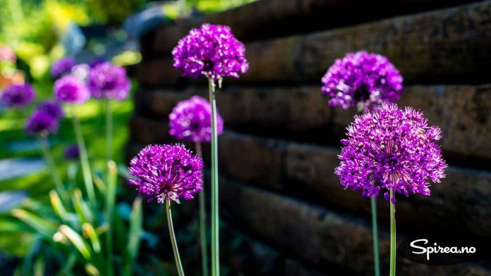 Allium får stort sett stå i fred for gnagerne.